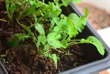 cultivar temperos