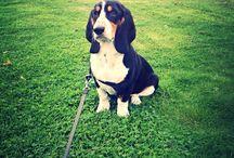 My Bassett Hound