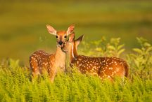 white tail deer, such peaceful creatures / by Angelina Biondo