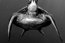 Broasca țestoasa