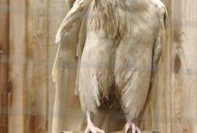 Cuervos Crow