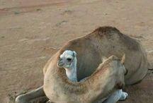 kamel camel جمل حيوان رحمه حب