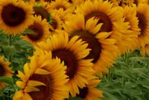 Sunflowers in the Great Plains / Flowers