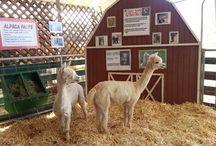 Travel - alpaca style / Alpacas!