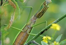 Preying Mantis / Most beautiful insect.