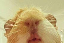 Guinea Pigs rule the World