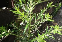 Swab Plants