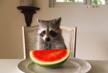 Raccoons / Еноты