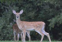 Oh Deer ... / Deer proof gardens, deer proof plants, deer repellents...  / by Rebecca's Bird Gardens