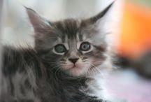 Mes bébés / Maine coon - Jango - Jackpot - Joyce - Jalouse - L'or - Hypnôse - Jazzee - Chat - cat - amour - poil - boule