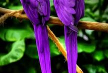 African Macaws