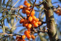 Rakytník / Rakytník je důležitou součástí produktů Weledy již po sedmdesát let. Na biodynamické farmě San Mario v Toskánsku se rodinné firmě Künzi & Röthlisberger podařilo začít tuto vzácnou divokou rostlinu pěstovat trvale udržitelným způsobem. Již deset let je tato rodinná firma partnerem Weledy.
