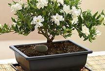 Bonsai - Potteplanter