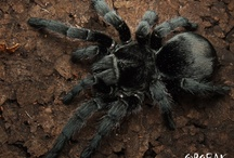 Tarantulas / Pictures of different tarantulas