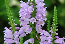Physostegia / Obedient plan