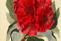 bilimsel bitki resmi (botanical art)