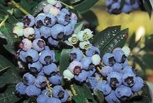 ABC's of Ericaceae (Heather) / Commonly known as the heath or heather family, includes the cranberry, blueberry, huckleberry, azalea, rhododendron, and various common heaths and heathers  / by Isye Whiting