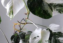 inspo: variegata