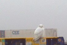 My owls at work / The 2 snowy owls that are camping out in Joliet  IL