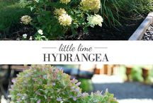 Hortenzie-Hydranncea