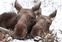 Moose photografia