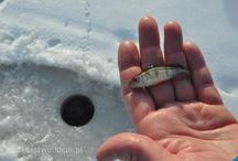 Wędkarstwo podlodowe | Ice fishing 2014 / Wędkarstwo podlodowe, popularnie zwane podlodówka. Ice fishing in Poland.