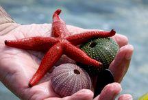 Sea Shell / Saroz İbrice...