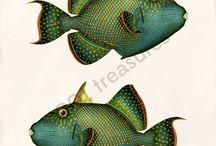 fulminante fish
