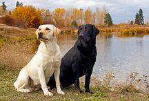 Labrador Retriever de vanzare / Vindem catei Labrador Retriever, toate variantele de culoare, masculi si femele. Pentru informatii suplimentare va rugam sa ne contactati. Va multumim!