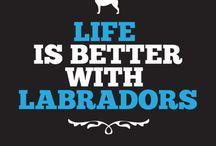 Labradors / animals