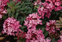 """Daphne are Delightful / A companion to our article on fragrant Daphne shrub varieties in the 2016 Nov/Dec issue of """"The American Gardener"""" magazine http://ahsgardening.org/gardening-resources/gardening-publications/the-american-gardener/november-december-2016-issue"""