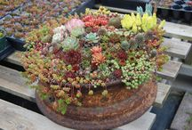 Cactus, Succulents, and Desert Flowers / by Lynda Aplin