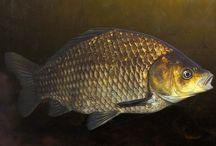 Ryby - Sladkovodní
