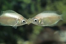 Gourami Beijador