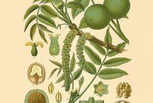 Walnut  antique botanical print
