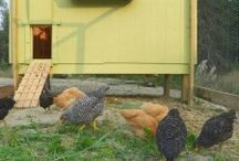 chickening, chickens, coops, and tractors