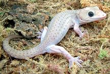 Gecko / Rather fond of the Gecko - just starting out my research on topic. / by Project Isabella