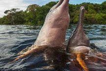 Golfinhos e botos da Amazônia