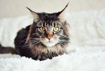 Mainecoon , cat