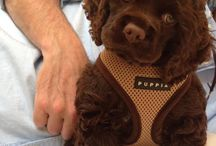 Cocker Spaniels by Hearthside / Pictures of our gorgeous Cocker Spaniel puppies.  Also will be putting up adult pictures here - and ones that are sent to us by our Cocker Spaniel owners.  We are on the web - www.hearthsidecountry.com