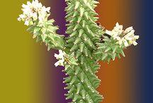 monadenium / monadenium