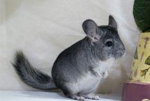 Les Chinchillas Standard / La couleur naturelle du chinchilla ... gris bleuté sur le dos, et ventre bien blanc ! Une splendeur.