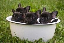 Frenchies / French Bulldogs / by Molly King-Melfi