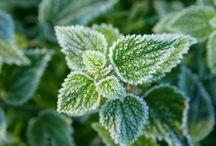 Heilende Pflanzen und Kräuter - Tipps und Rezepte