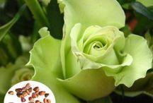 50-Pcs-Green-Rose-Seeds-DIY-Home-Garden-Dec