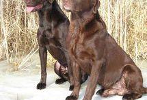 Chocolate Labradors