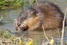 zvieratka z potoka