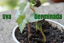 como plantar frutas em vaso uva framboesa etc....