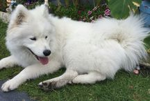 Baby Storm / Our pure breed Samoyed