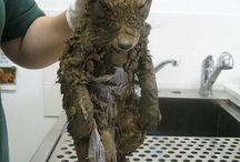 Rescued Red Fox / This cute rescued fox was unrecognizable until it took a big bath!